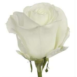 Send Fresh Cut Flowers   100 Long Stem White Roses Wholesale: