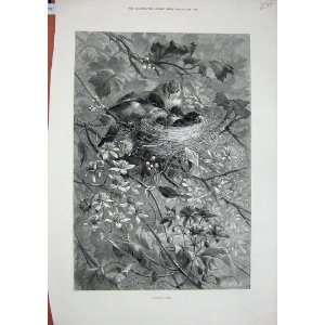 1879 Fine Art Trees Birds Nest Flowers Nature Leaves