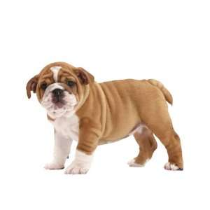 Wallpaper 4Walls Animals Puppy Love Bulldog KP1206SA: Home