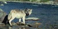 WOLF BY RIVER BANK LICENSE PLATE / AUTO TAG