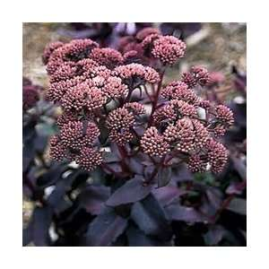 SEDUM PURPLE EMPEROR 10 seeds Patio, Lawn & Garden