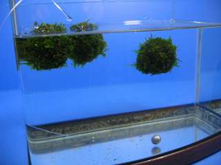 2x Float java moss ball   live aquarium plants fish co2