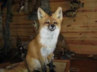 Beautiful Sitting Red Fox Animal Taxidermy Mount Art Wildlife  No