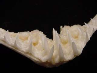 WOBBEGONG carpet SHARK jaw sharks jaws teeth taxidermy