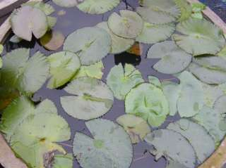 10 Tubers/Red Water Lily/Nympheae/Lotus Pond Plant